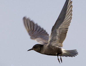 Marsh Terns