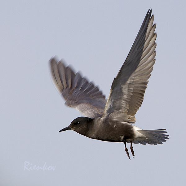 Black Tern X2-31052014