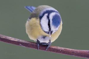 Blue Tit (Parus cyaneus) Pimpelmees - Assen - Netherlands