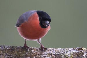 Bullfinch (Pyrrhula pyrrhula) Goudvink - Assen - Netherlands