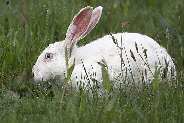 Albino European Hare (Lepus europaeus)