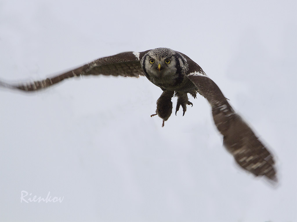 Northern Hawk Owl X1-11122013