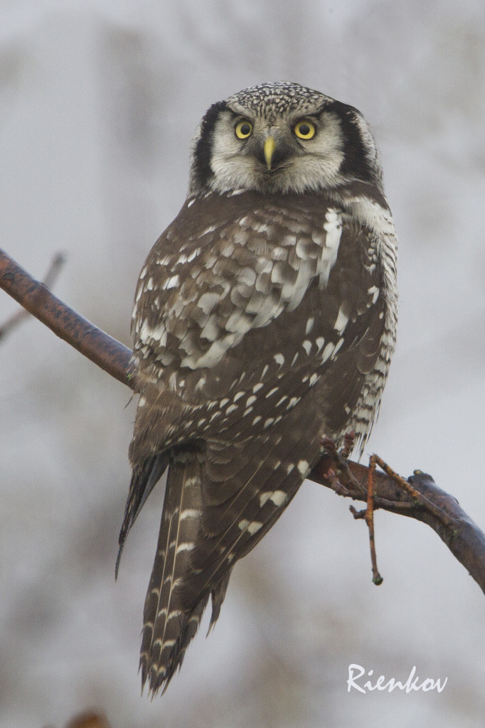 Northern Hawk Owl X2-11122013
