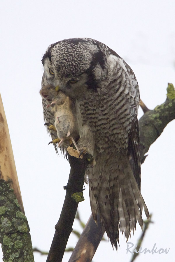 Northern Hawk Owl X4-11122013