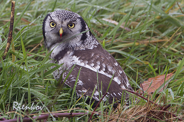 Northern Hawk Owl X5-11122013