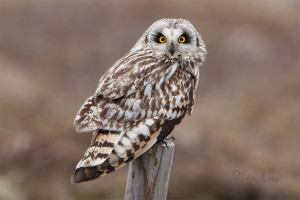 Short-eared Owl (Asio flammeus) Velduil - Myvatn - Iceland