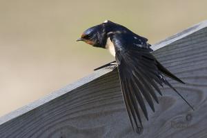 Swallow (Hirundo rustica) Boerenzwaluw - Zuidlaardermeer - Netherlands