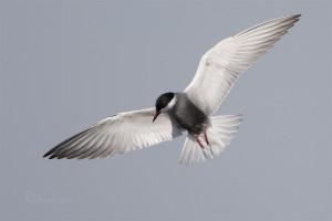 Whiskered Tern (Chlidonias hybrida) Witwangstern - Zuidlaardermeer - Netherlands