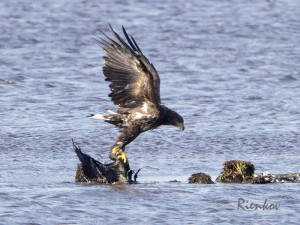 White-tailed Sea Eagle X1-23082015