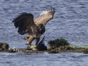 White-tailed Sea Eagle X6-23082015